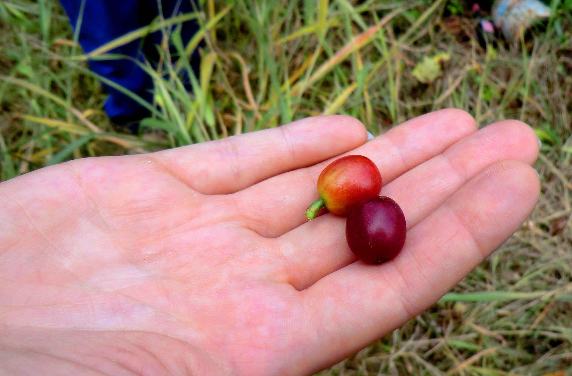 ферма в Эквадоре кофе