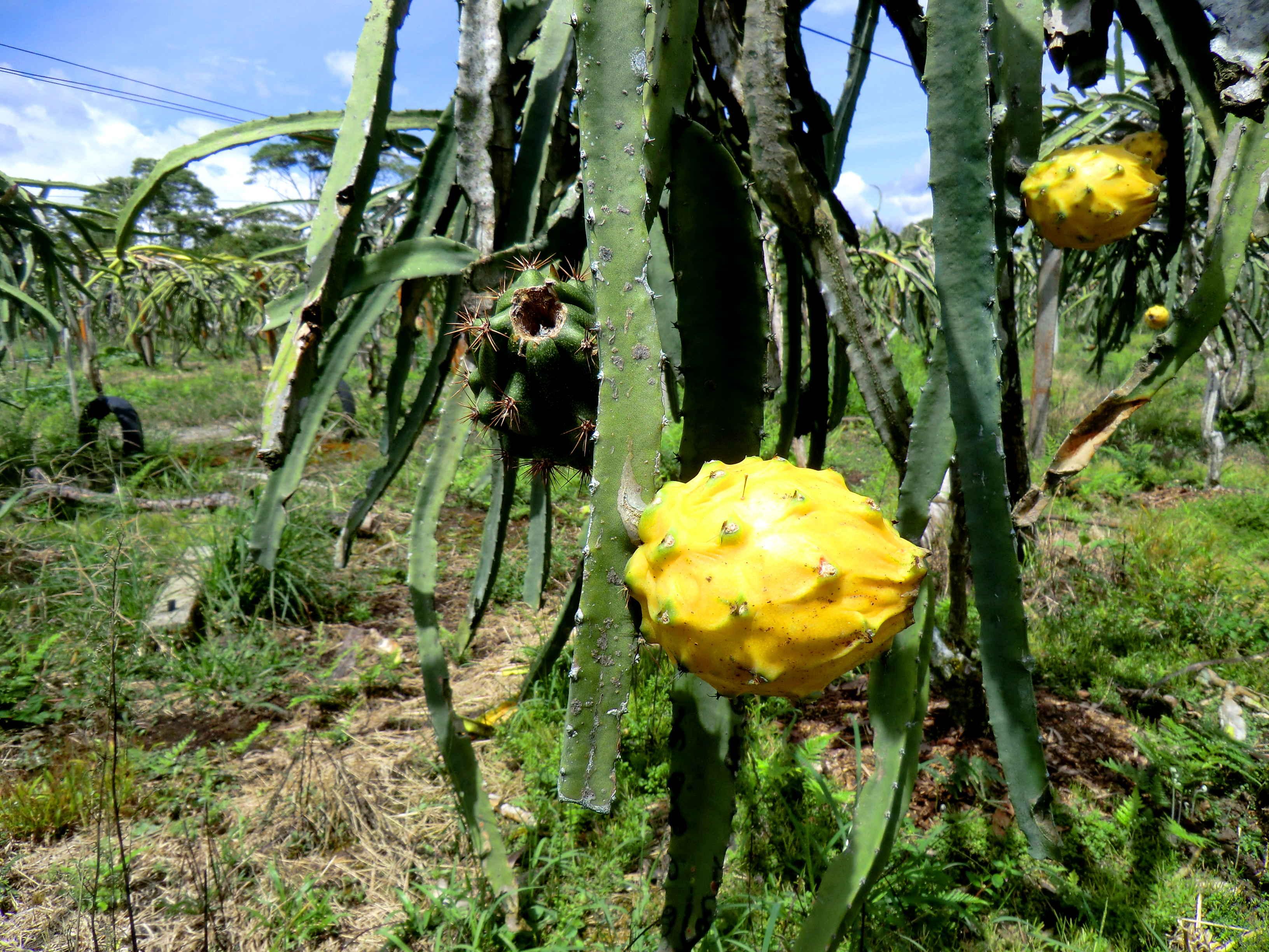 ферма в Эквадоре питтахайя
