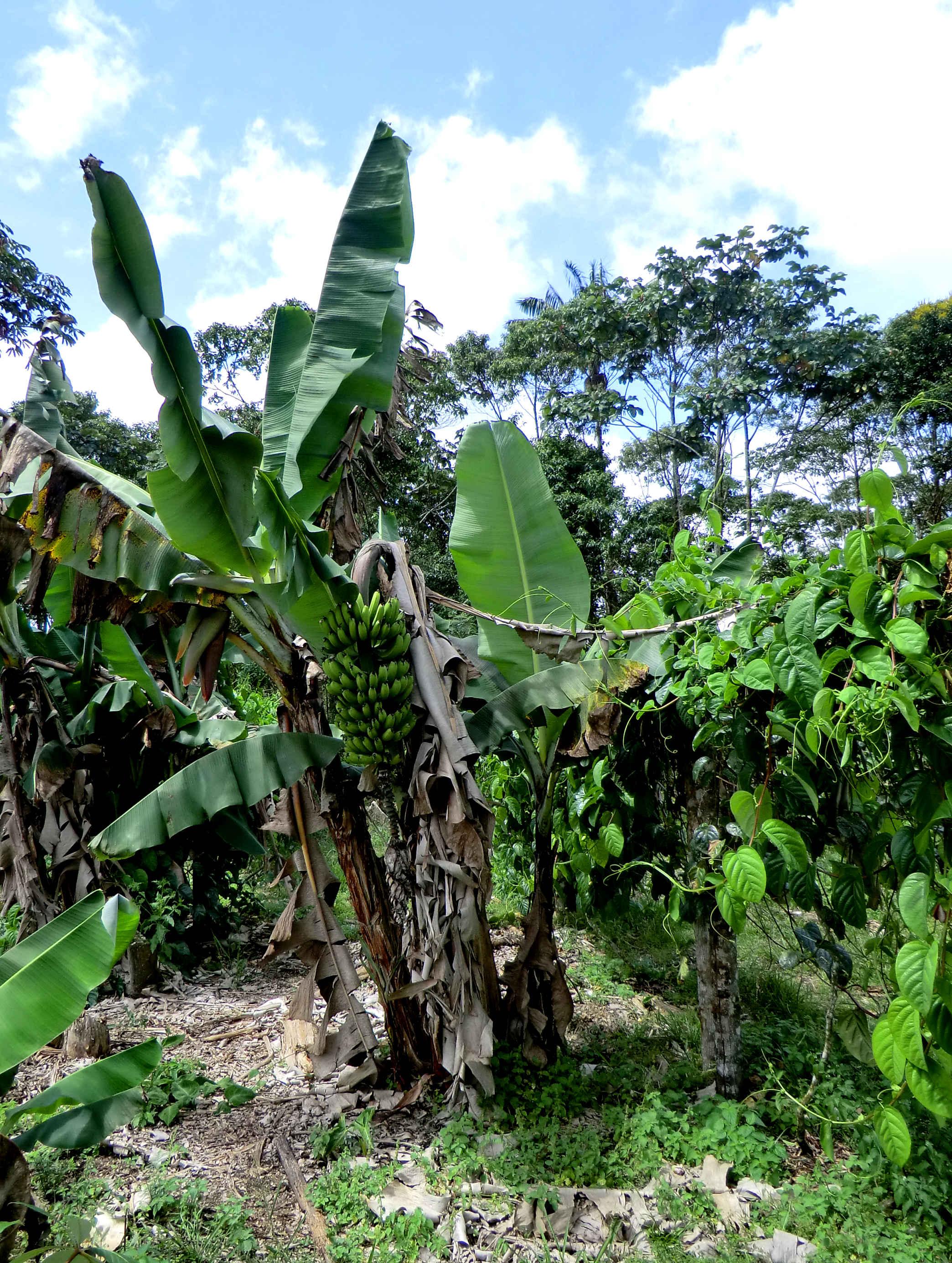 ферма в Эквадоре бананы