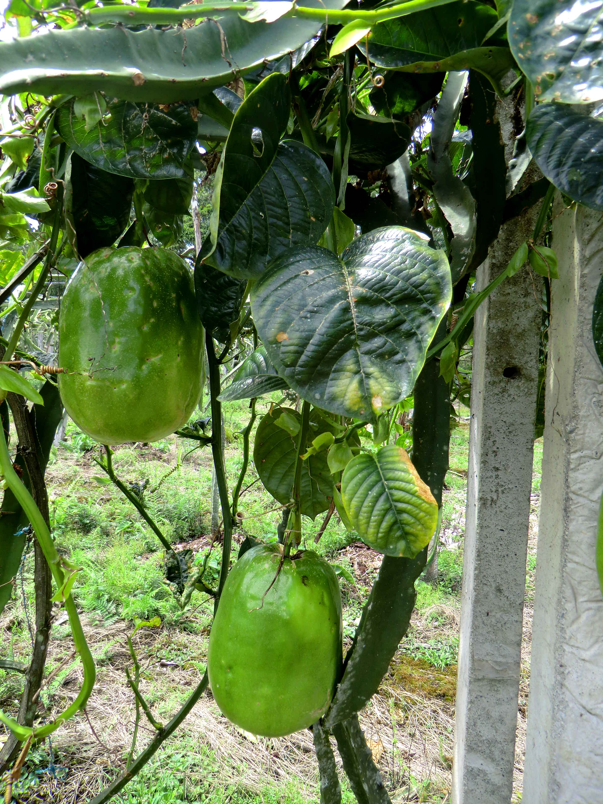 ферма в Эквадоре