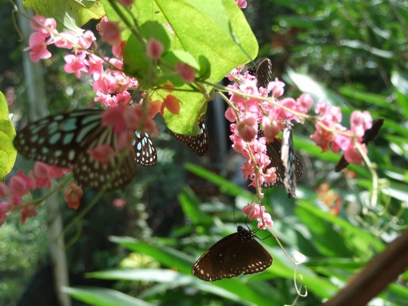 Butterfly_Garden_Koh_Samui