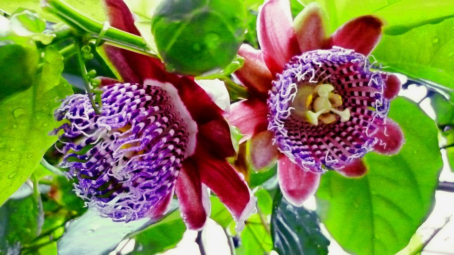 Passionfruit_flower